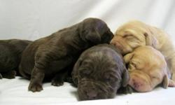 LabsBC - For a LIFETIME. We have just had a litter of 9 Chocolate & 2 Champagne We are not a kennel as we have our dogs living in our home with us. They are part of our daily lives, from car rides into town, play dates at the lake, and just lounging in
