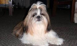 12 lb intact male shih tzu from show home.