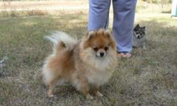 Beautiful ckc reg. pomeranian boy for sale, was kept for show but have decided to let him go to a forever loving home. He is utd on his shots, micro chipped , and full of energy.  He will be neutered before he leaves and will have a full vet. exam on