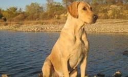 WE ARE ACCEPTING DEPOSITS ON THIS SPRING 2012 LITTER     Gem is a gorgeous yellow female from some of the finest breeding in the U.S. Gem is an 80lb female with a strong field trial and Hunt Test background. Gem has just recently started her Hunt Test
