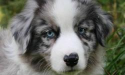 If you have been looking for an Aussie friend this is your chance to have it all. The Best of the Best.  We only have three puppies available.  Deposits are now being accepted.  Come and visit these home raised puppies this weekend.Sire:  Robin's Magical