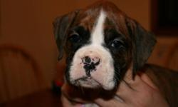Ckc Registered Boxer Puppies. 1 male left. Come from champion bloodlines. All are declaws removed and tails done and microchipped. Come with a puppy starter pack and 6 week puppy insurance. All are well started in paper training. They are well socialized