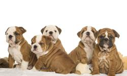 CKC ENGLISH BULLDOG PUPPIES  FOR SALE       AMAZING Bulldog puppies  for  sale. All raised  under  foot in our  home  -socialized  and  with  Champion bloodlines. These  puppies are   beautiful  and  have  the  famous  Mervanders  bloodline   - one  year