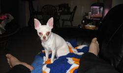 Hello,   VERY URGENT! I have a 4 year old CKC Registered White Chihuahua for sale. It is unfortunate that he has to go, we are moving and are unable to take him. He is up to date on his shots, and has been neutured. Taz is all white with some brown spots.