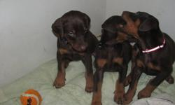 CKC limited registered Doberman puppies, red/tan, males and females available. Pups come dewormed several times, vet checked, first set of shots and micro-chipped. Sire and dam both have great temperaments and these puppies will be great family members,