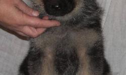 Last Mountain German Shepherds has a lovely litter of pups ready for new homes just before Christmas. Ch. Canisphere's LastMountain Kruz and LastMountain Dolly are the proud parents of 8 lovely pups. We have 6 pups sold,  2 Females are still looking for