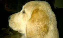 I currently have 1 female golden retriever for sale:   *  she is 8 months old *  CKC Registered *  3 year health guarantee *  crate trained *  housebroken *  Parents are Canadian Champions *  fully vaccinated and dewormed.   If you are interested, please