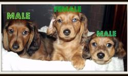 Beautiful longhaired miniature dachshund puppies ready to go to their loving new homes today!! Puppies are sold CKC registered, vet checked, first set of needles, dewormed, socialized and microchipped. Puppies were born and raised in our house. Both the