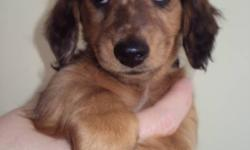 2 male and 1 female CKC registered miniature long haired dachshund puppies for sale. They are ready to go to their new homes today! Puppies are sold CKC registered, vet checked, microchipped, dewormed, first set of needles and socialized. Pups were born