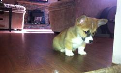 2 Male Red and White Pembroke Welsh Corgi puppies for sale. These are great family dogs, good with kids, very social. Corgis are known as being a big dog in a little dogs body these little boys should mature to about 25-30lbs. These are outgoing friendly