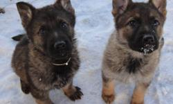 We have a dark sable male ( SOLD) and a light sable female ( SOLD ), Canadian Kennel Club registered german shepherd puppies for sale. The puppies are CKC registered, micro-chip, de-wormed, vaccinated, and hip/elbow guaranteed. The Sire's bloodline is