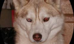 Foxy is a light red 1 yr old female Siberian Husky who is available to either a pet or show home on a non breeding contract.  She comes from Championship bloodlines. Both parents had hips and eyes tested and cleared. She is a very friendly girl who gets