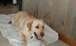 CKC REGISTERED YELLOW LABRADOR PUPPIES 4X FEMALES LEFT They will be Well socialized, friendly and smart..They will come with vet papers, 1st shots, 3X de-wormed, dewclaws removed, 2 year genetic guarantee, references available on website.....$100 Deposit