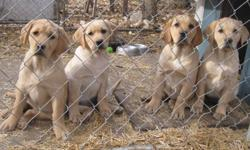Two beautiful females left to choose from right now or be on next falls waiting list. Our CKC registered yellow lab puppies have had their first and second shots as well as regular deworming, a vet check-up, and are microchipped. These puppies also come