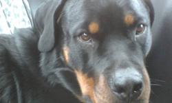 I have a 2 year old spayed CKC registered rottweiler for sale. She is up to date on shots, tattooed and microchipped. Good with other dogs unless they challenge her then she stands her ground. Goofy sometimes as she is still a baby. She is good in the car