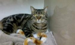 Clark is a beautiful Classic Tabby male with a majestic coat with beautiful swirls. He is approximately 2 years old, neutered and vaccinations up to date. If you are looking for a laid back guy this is your cat!!!! He loves to laze and hang out with