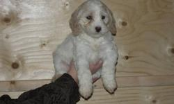 6 male, 1 female, (fourth picture), Cockapoo puppies for sale. These adorable little pups are well socialized, our children really enjoy playing with them, and helping care for them. Excellent, out-going temperaments.  Both parents on site. Have had their