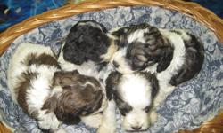 We have beautiful Cockapoo  puppies that will be ready to go just in time for Christmas! The 4 pictured together are males and the single one is a female.  When they leave us they will have had their 1st shots, vet check, dewormed and come with a 1 year