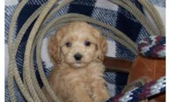 Super family dogs! True Cockapoo puppies, mom is a smaller buff Cocker Spaniel and dad is red toy poodle. Excellent temperament, great with kids! Four male puppies available; have 1st vaccinations and are dewormed. Delivery can be arranged to Calgary and