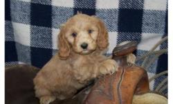 Super family dogs! True Cockapoo puppies, mom is a smaller buff Cocker Spaniel and dad is red toy poodle. Excellent temperament, great with kids! Two male puppies and one Female puppy available; have 2nd vaccinations and are dewormed. Delivery can be