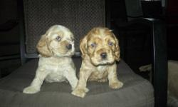 They will ready to give away  december 9th... Tails are not cut off... 1 male and a female..