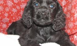 Litter of American Cocker Spaniel puppies ready for homes now.  Three left, two males one female.  Both parents are Cocker Spaniel, very lovable and loyal.  Cocker Spaniel puppies are easy to train, a very loyal and loving breed of dog. Will be a great