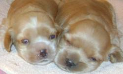 Really super cute,pure Cockerspaniel puppies.. Raised in our home, socialized with all family members. Tails docked.  Both parents pure CockerSpaniel. Like to play fetch.   Gold or Buff colored females and males.. Black/white and a black female, for