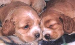 Cute little cockerspaniel puppies!  Born and raised in the house with us.   Super cute and playful.. Great family dogs, easy to teach to do tricks. Will be paper trained.   Both parents are pure Cocker spaniel..Love to fetch and play. They're our house