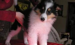 I have 6 collie pups for sale. There are three males and three females. They are available in tri colour, blue merle & white and tri colour headed whites. Born Oct. 13, 2011 . Cute cuddly bundles of fur !