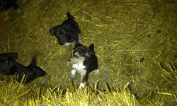 For Sale: 4 male, 3 female Collie/Retriever cross Puppies. Mom is a quick learner with exceptional temperment. Very good with kids. Will have 1st dewormer and can vaccinate upon request.