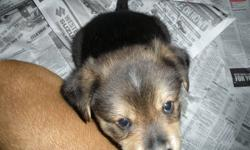 Collie Rottie Puppies   4 male, and 4 female adorable collie-rottie mix puppies for sale. Docile temperment; very lovable. No shots. Must go to good homes.   Please call only for more details or to arrange a viewing.   Contact:  Ken @ 780-977-7347
