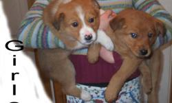 Collie (rough) x Lab Pups Parents are Great Farm Dogs. 10 weeks old today. Have 1st. booster shot, that's why the charge.   Pups have been raised outdoors & good with small livestock. These will be large +70 pound dogs. Warm medium length coats.     If