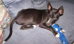 Cooper is a beautiful 6 month old boy. Cooper is super sweet and cuddly and loves his toys. He is great with kids and other dogs. He doesnt pay much attention to the cats. Cooper is such a sweetie and would be a good match for any family. He is neutered,