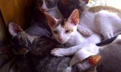 3 Beautiful Cornish Rex Kittens ready to be homed! all females displayed in the indivigual pictures, they are very loving, playful, energetic babies that have a super soft curly cost that does not shed and has trouble holding dander which in most cases