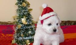 Coton De Tulear Puppies $1500 (AKC Registered) Coton de Tulears are very friendly and have great personalities, each one so unique in their own way. The puppies will be raise in a home with other dogs and are well socialized. They are perfect for families