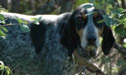 I have 4 bluetick walker cross coonhound puppies for sale. Dad is a walker from Idaho been on a 100 plus lions and and twice as may bears. I bought this dog from bc and he is the real deal. He barks over a 100 barks per min. and is a stay put tree dog.