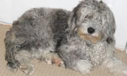 I am 9 mos. old, born April 15th, 2011. My Dad was an Australian Shepherd and my Mom was a mini Labradoodle (miniature poodle/Labrador combo). I have had my shots recently, with a booster due on Jan. 31st. I have just gone through heat, and have a spay