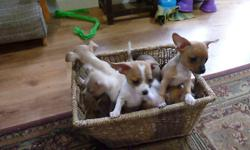 Hi, I have cute little chihuahua puppies for sale. Mom and dad are both short coat chihuahuas and live in our home. Mom weighs about 6 pounds and dad weighs about 5 pounds. These puppies will be ready to go to a new home in one week. Please call or email