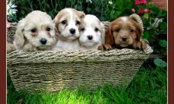 We have a beautiful litter of nine (five male and four female) COCKAPOO puppies looking for their new home.   They will come to you vet checked, dewormed, tails docked and with their first shots.   Please call (no email) us at 519-698-0021 or our cell at