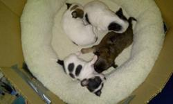 CHIHUAHUA PUPPIES 3 GIRLS & 1 BOY 3 LONG HAIRED & 1 SHORT HAIRED BORN OCT 29 2011 READY TO LEAVE CHRISTMAS EVE $600.00 FIRM PUPPIES WILL COME WITH 1ST SET OF SHOTS & A PUPPY STARTER KIT.   DAM IS A 4LB FAWN SHORT COAT(IMPORT) X SIRE IS A 3LB TRI LONG