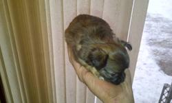 CHIHUAHUA MALE PUPPY ONE LIL LONG HAIRED MALE WHO IS BEYOND CUTE & WILL BE SMALL AS A ADULT IS AVAILABLE FOR $600.00 FIRM. BORN OCT 29 2011 MOM IS A 4LB FAWN SHORT COAT DAD IS A 3LB TRI LONG COAT HE IS UTD ON SHOTS & WORMING & HE IS ALREADY PAPER