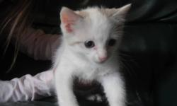 kitten 8 weeks old , male with blue eyes. very sweet and cuddly looking for  forever home.