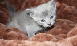These kittens will be small adults weighing approx 7lbs at full growth. Very cute TINY NON FOLD Persian cross Scottish Fold kitten. Ready to go soon. Bouncy happy wormed and litter trained. He is a doll !! 20.00 One Blue female kitten VERY outgoing and