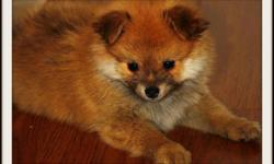 Hi, I have a cute 2 months old pomeranian puppy that I just got from a breeder but im not able to keep him bcoz of my landlord. He is very cute and cuddly. He already had his first shot and been dewormed. :) I am located in Coal Harbour, Downtown. 604 377