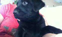 Cute puppies half chocolate an quarter Rottweiler quarter German Shepard in need of loving forever home. Can go now they r eating puppy food and drinking water. Very playful and good with kids. This ad was posted with the Kijiji Classifieds app.