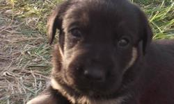 8 very adorable, cute and loveable puppies. Great around kids. Playful and enjoyable. 1 males, and 7 females The mother is a Great Dane crossed with Lab and Boxer. The father is a Husky crossed with Border Collie Come take your pick; choose the puppy you