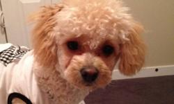 Cute crossed poodle This ad was posted with the Kijiji Classifieds app.