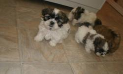 ALL VERY ADORABLE!!THEY ARE EATING FOOD , ARE PARTIALLY POTTY TRAINED THERE ARE 4 TOTAL AS SHOWN IN PHOTOS,I DO BELEIVE THEY ARE FEMALES ASKING $300 WE OWN BOTH MOM AND DAD TOO