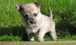 Beautiful white/cream male PomChi available!   Buddy is such a cutie. Raised in a family home with two children.   Will come with 1st shots, deworming, and her very own puppy pack: blanket, collar, toy, and food!   Taking deposits now. First come gets