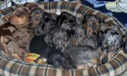 Loving Puppies For Loving Homes. The most fun loving puppy you can ever get. These Puppies are Beautiful. We have several varieties of Dapple Colours.One black male. They are Happy,Healthy and very Playful. Home Raised with lots of Love and Care. Very
